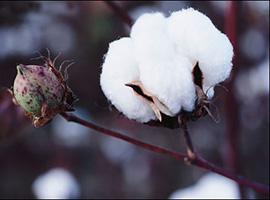 进口棉质量状况白皮书透露:重量短少问题仍比较突出