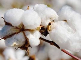 明年1日起我国下调棉花进口关税 棉价压力逐渐减轻