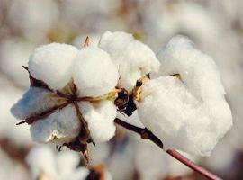 对于棉花,今年中央一号文件都说了什么?