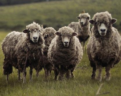 贸易战:澳大利亚羊毛价格创15年来最大单日跌幅